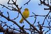 YellowWarbler_D721306