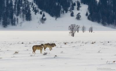 El encuentro con los lobos / The encounter with the Wolves