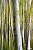 Treetrunks2_D703069