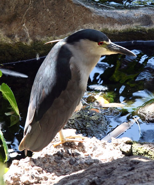 1644 - Night Heron