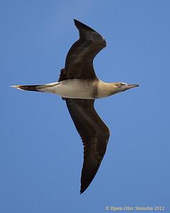 'A / Brown Booby / Brunsule (Sula laucogaster) juvenile.