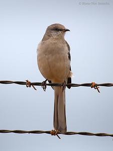 Northern Mockingbird / Sangspottefugl (Mimus polyglottos).