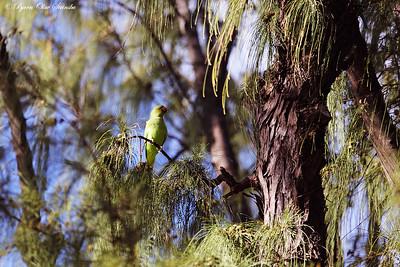 Rose-ringed Parakeet / Halsbåndparakitt (Psittacula krameri)