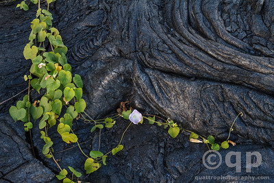 LAVA MORNING GLORY