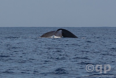 HUMPBACK WHALE TAIL FOLD