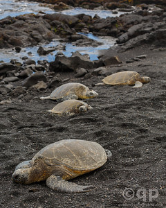 A HERD OF TURTLES ON BLACK SAND BEACH