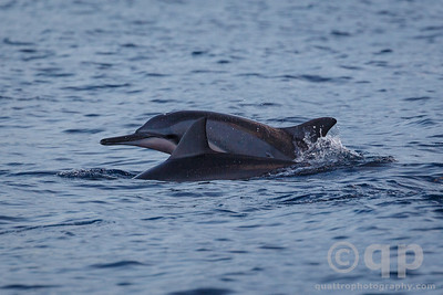SPINNER DOLPHIN DUO