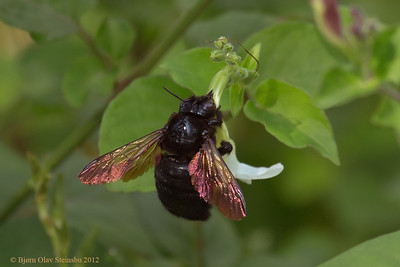 Sonoran carpenter bee (Xylocopa sonorina) ♀