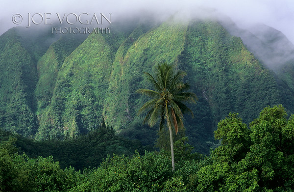 Palm Tree, Ko olau Mountain Range, Oahu, Hawaii