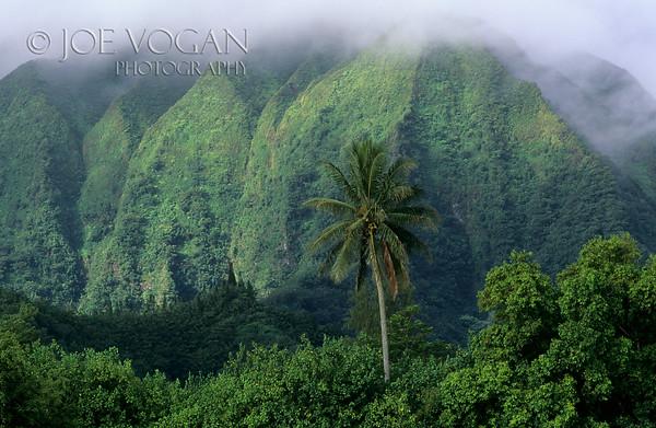 Palm Tree, Ko olau Mountain Range, Oahu, Hawaii