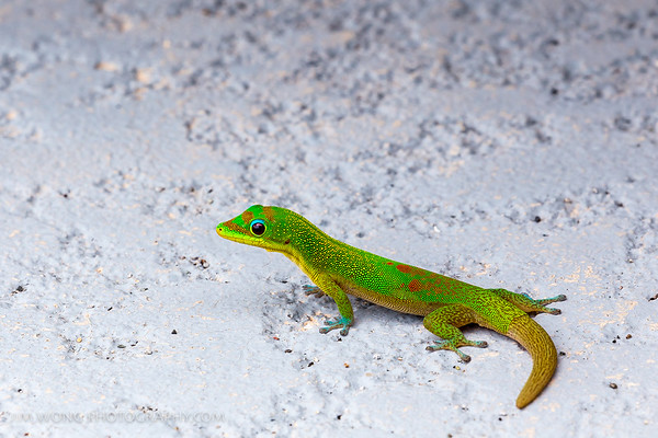 Gold Dust Day Gecko I, Big Island