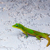 Gold Dust Day Gecko I