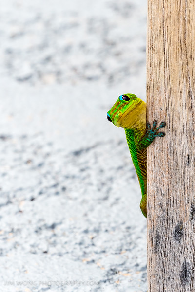 Gold Dust Day Gecko II, Big Island