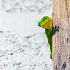 Gold Dust Day Gecko II