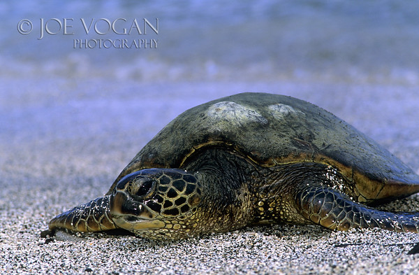 Green Turtle, Kona, Big Island, Hawaii