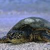 Green Turtle, Kona, Big Island, Hawaii