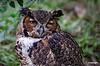 Owl_D7K0664