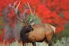 Alert Bull Elk