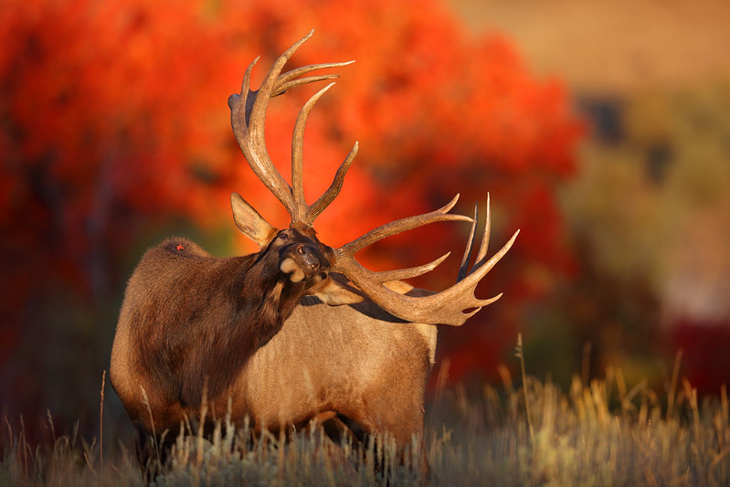 Sometimes Everything Comes Together Brilliantly – Monster Bull Elk