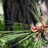 Male Pine Cones - at Kamiat Butte, Palouse WA