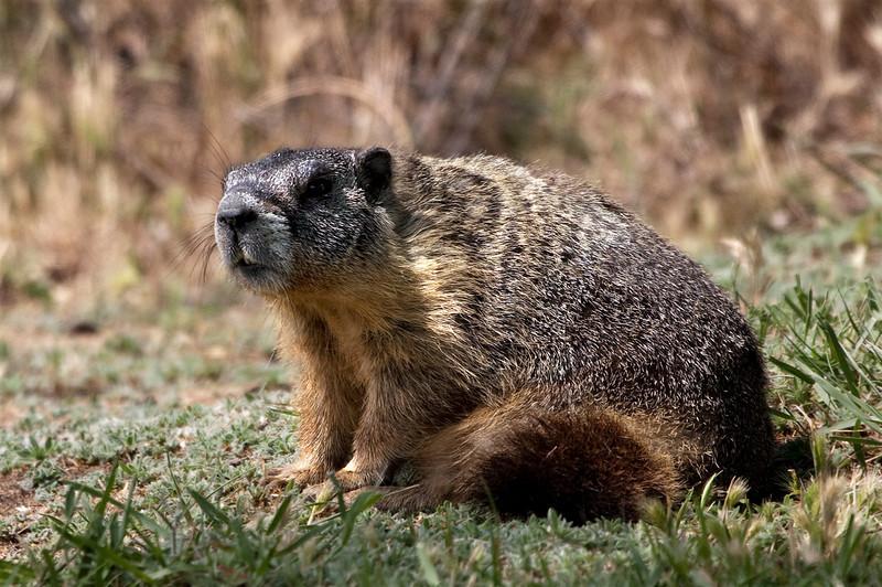 Groundhog taken halfway up Steptoe Butte, The Palouse, Washington