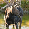 Moose cow at Moose Junction.