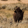 Bison grazing in sage grass, Jackson Hole.