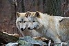 Wolves_A700875