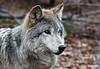 Wolf_A700739
