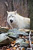 Wolf_A700872