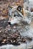 Wolf_A700932