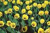 tulipani-2fin