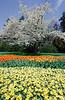 tulipani-3fin2