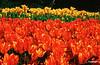 tulipani-1fin