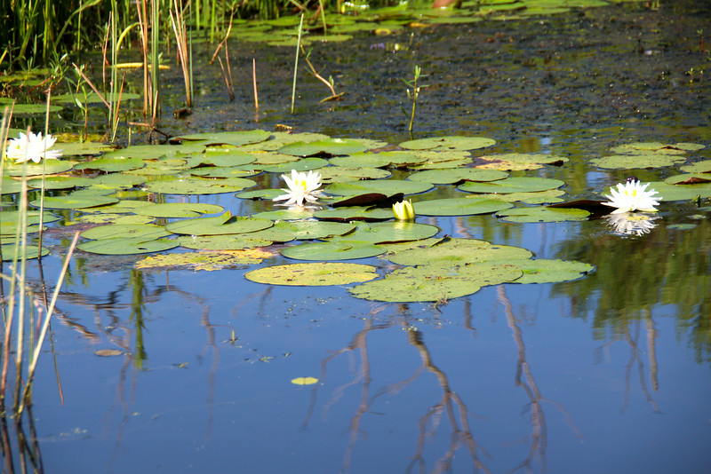 water lily - Grosse Savanne Eco-Tours
