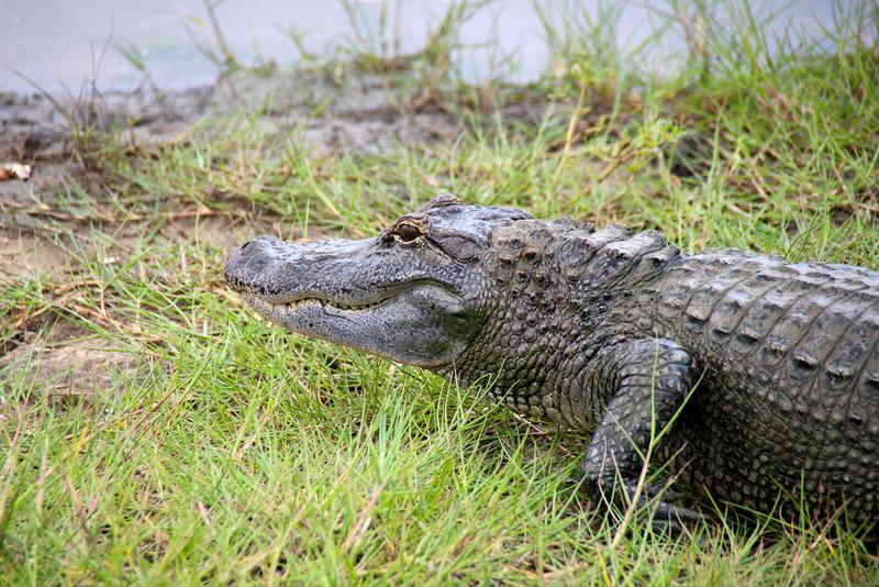 Airboats & Alligators