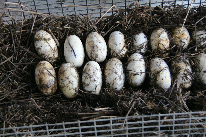 alligator eggs - Airboats & Alligators