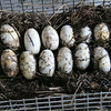 alligator eggs - Airboats & Alligators