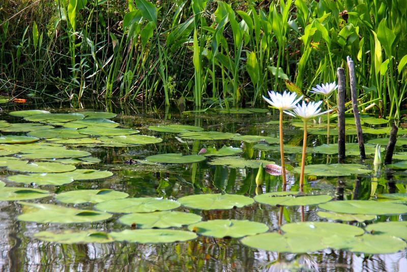 water lotus - Grosse Savanne Eco-Tours