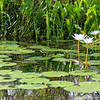 water lotus - Grosse Savanne Eco-Tours