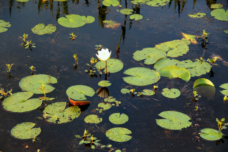 water lotus - Pintail Wildlife Drive