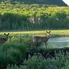White-tailed Deer, Beaver Dam Pond, Acadia National Park, Mt. Desert Island, Maine