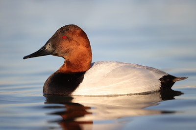 Canvasback Duck, Chesapeake Bay, Maryland