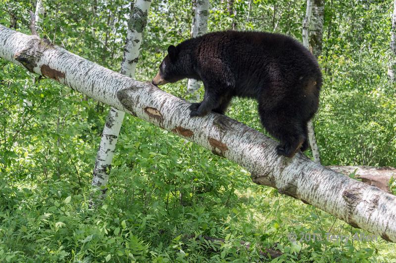 Black bear investigating a fallen birch tree