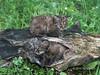 Pair of bobcat kittens on a hollow log, near Sandstone, MN