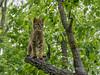 "Bobcat (Lynx rufus) up a tree in the rain, near Sandstone, MN<br /> <br /> 05/08/14  <a href=""http://www.allenfotowild.com"">http://www.allenfotowild.com</a>"