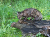 """Pair of bobcat kittens standing on an old log, near Sandstone, MN (best larger)<br /> <br /> Other photos of local wildlife can se seen here: <a href=""""http://goo.gl/mfiEzD"""">http://goo.gl/mfiEzD</a><br /> <br /> 24/07/14  <a href=""""http://www.allenfotowild.com"""">http://www.allenfotowild.com</a>"""