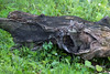 Bobcat kitten in a hollow log, near Sandstone, MN