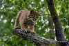 Kitty claws<br /> <br /> Bob cat sharpening its claws on a tree limb, near Sandstone, MN<br /> <br /> Bobcats are around double the size of domestic cats.