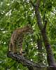 Bobcat in a tree in the rain, near Sandstone, MN